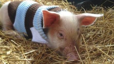 yoda-the-piglet