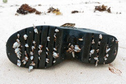 Barnacles on a boot.