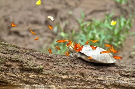 butterflies-turtle-tears-3