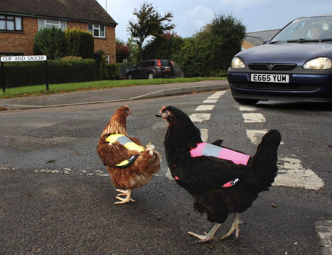chickens-crossing-road