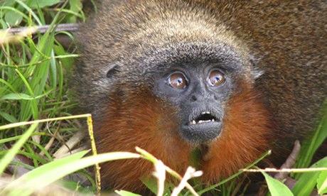A 'purring' Caqueta titi monkey (Callicebus caquetensis)