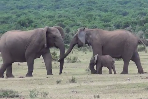 Elephant family reunites.