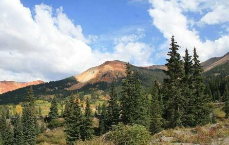 Scientists have found that drought means Engelmann spruce trees (pictured on Red Mountain Pass, Colorado, above) have weaker defenses against spruce beetles, triggering an outbreak in hundreds of thousands of acres in Colorado's forests.