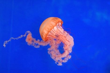 jelllyfish
