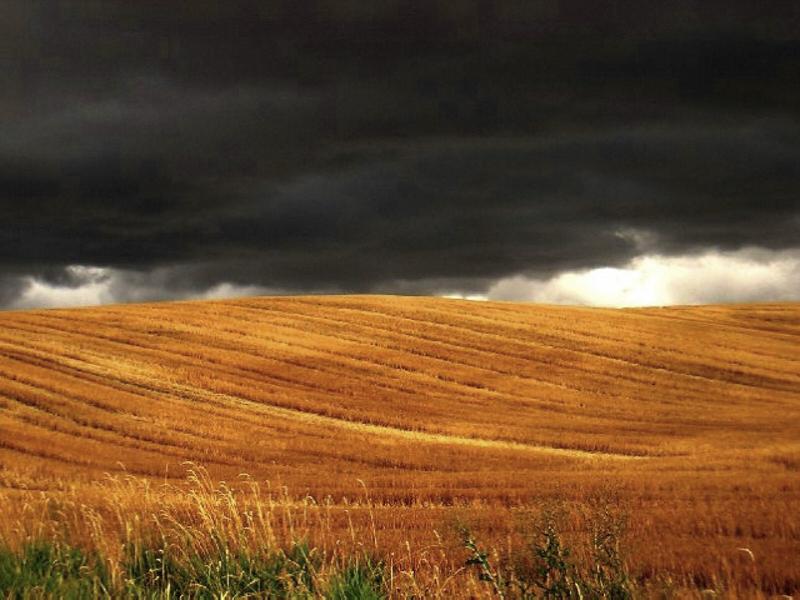 North Idaho wheat field