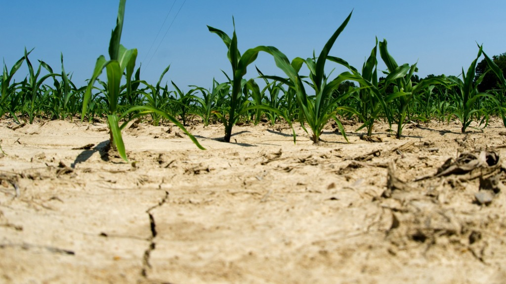 Drought-afflicted cornfield