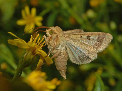 Noctuidae - Helicoverpa armigera