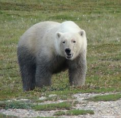 Polar bears living without ice: not a happy bear.