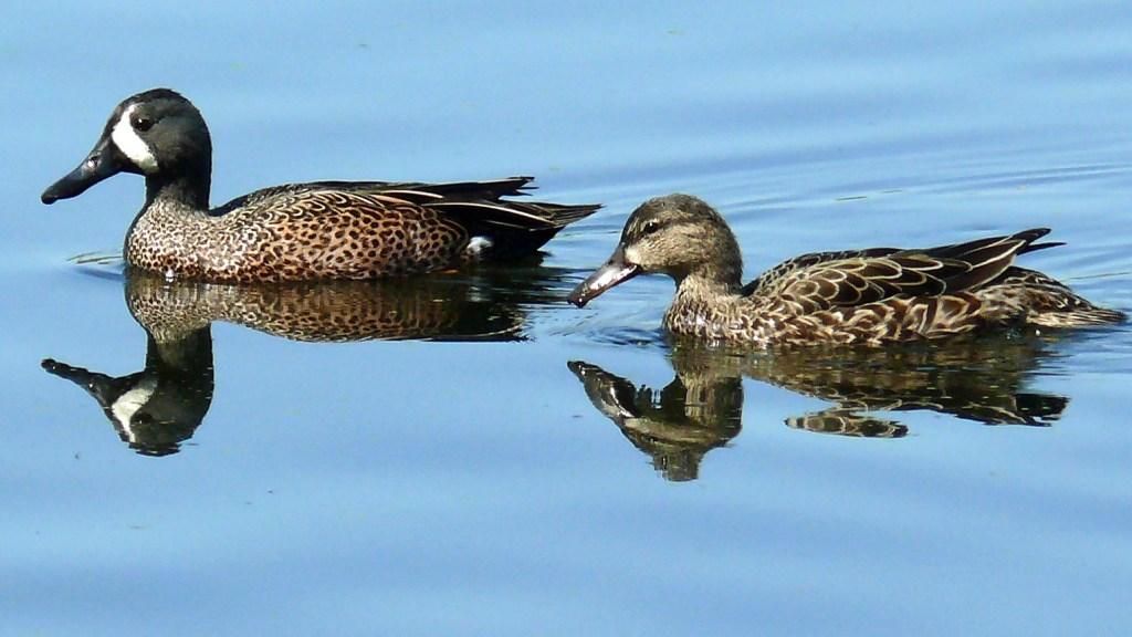 Teal ducks in Texas
