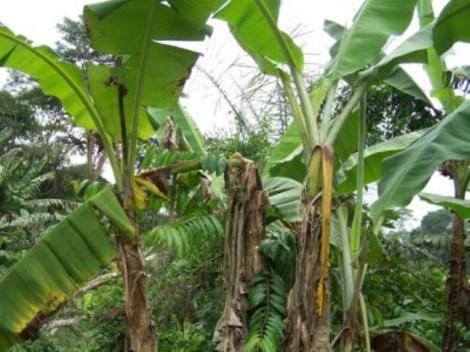 Banana Xanthomonas wilt-infected banana plants in banana farm