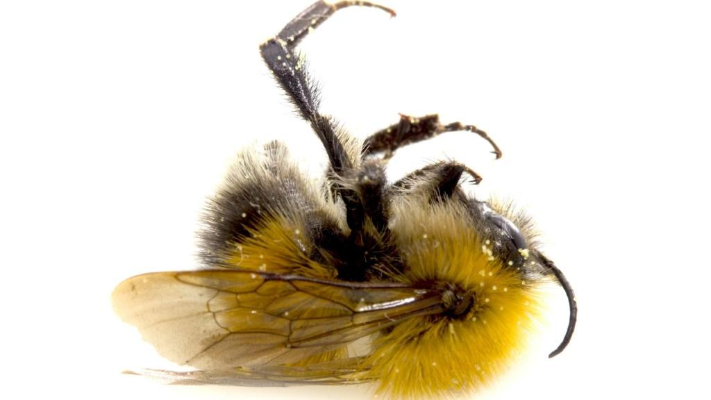 A dead bumblebee