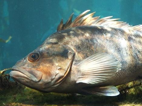 It's okay, Mr. Rockfish -- ocean acidification makes me anxious, too.