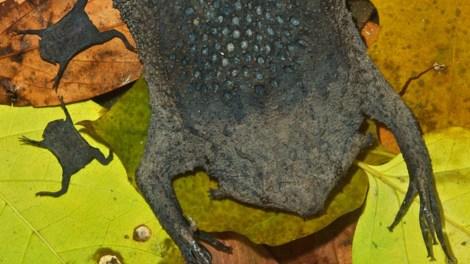 surinam-toad