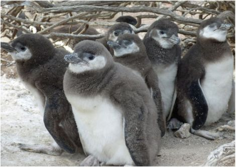 Penguin chicks resting in the shade as their parents search for food.