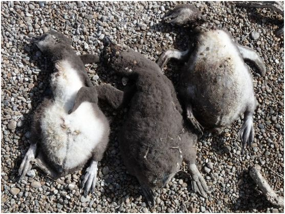 Chicks that died of hypothermia after a rainstorm.