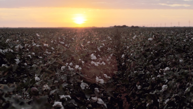 cotton-field-sunrise
