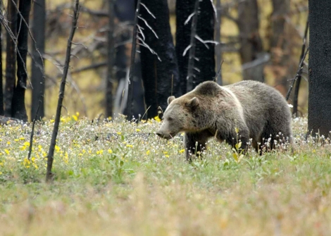 A grizzly bear strolls through Yellowstone National Park.