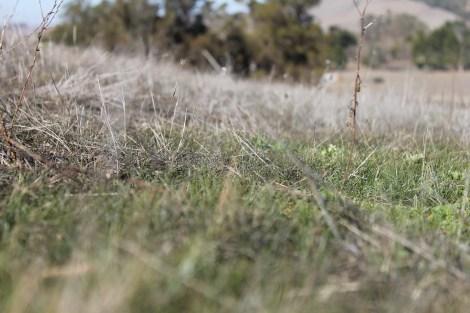 Green shoots in drought-ridden California