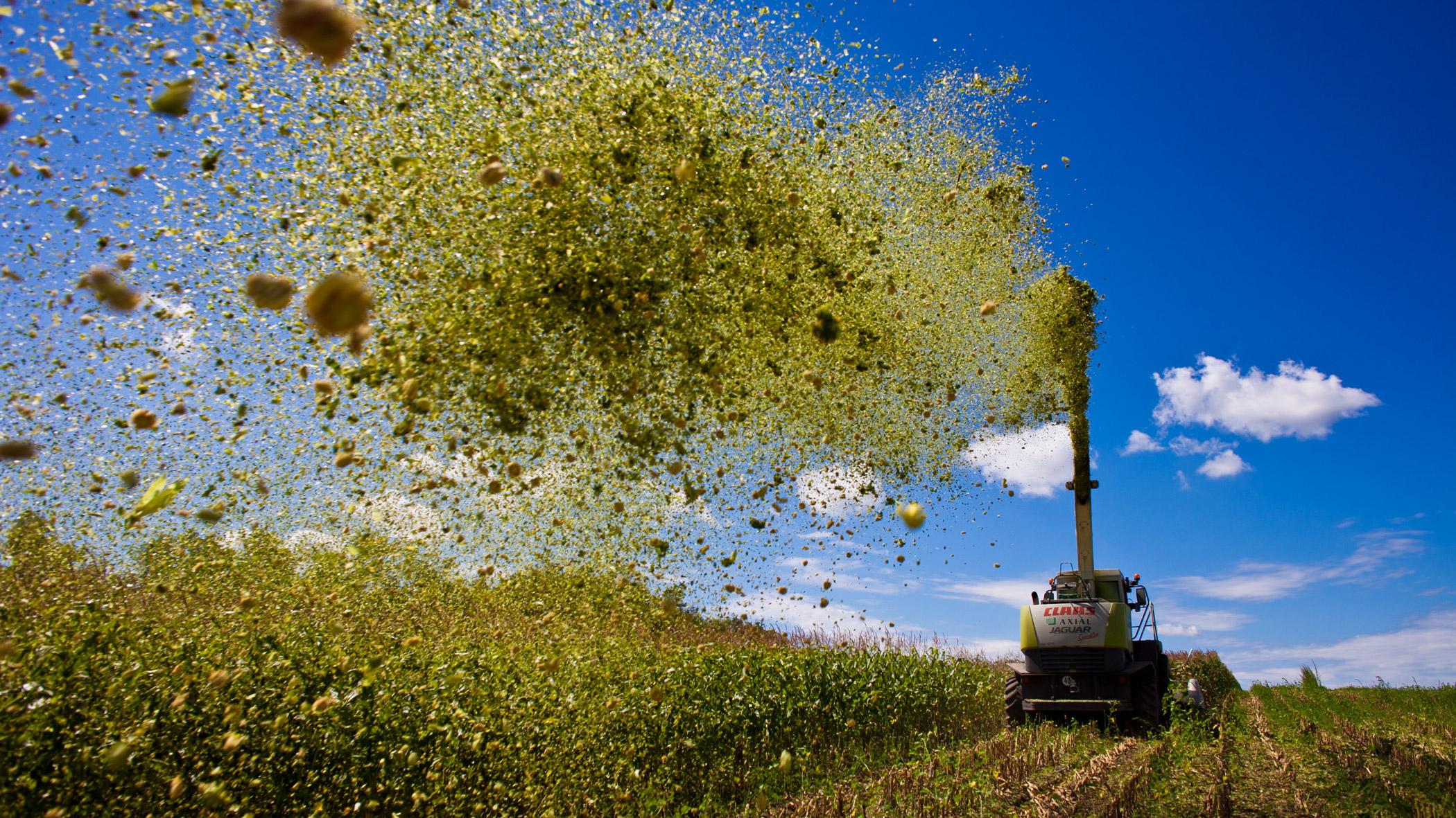 Harvester rejected GMO corn crop