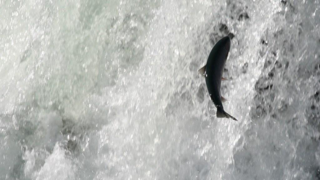 A salmon in Canada