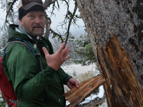 Wally McFarlane shows how the beetles have infested a whitebark pine tree on Packsaddle Peak.