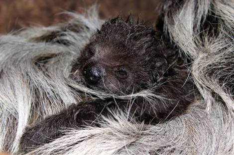 baby_sloth_2