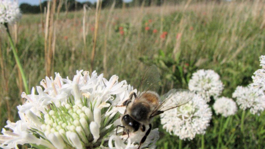 A bee on pastureland
