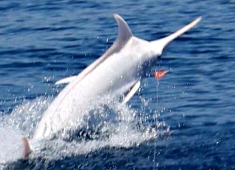 albino-blue-marlin-billfish-report-small