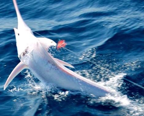 albino-blue-marlin-side