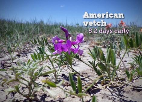 american-vetch.jpg