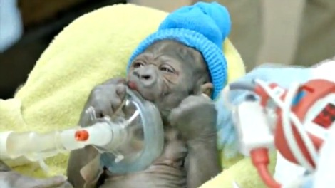 baby-gorilla-c-section