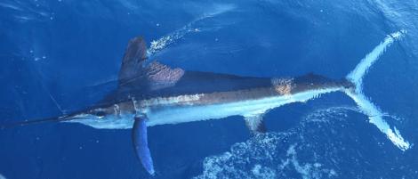 blue-marlin-flickr-J-Thomas-McMurray