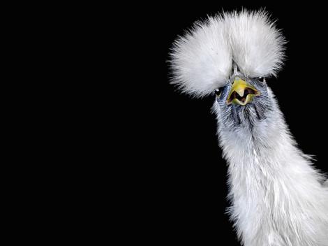 chicken-portrait-ernest-goh