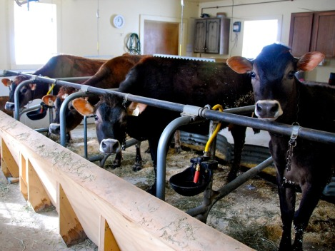 Judge's Jersey cows.