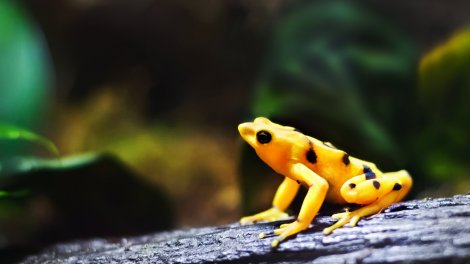 A Panamanian golden frog, the stoic mascot of mass extinction, is actually still alive in captive breeding programs.