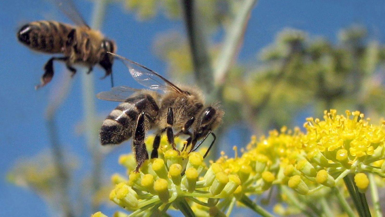 will diet pop attract bees