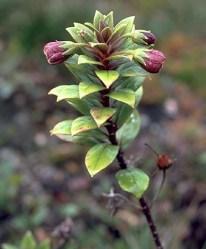 Lysimachia daphnoides
