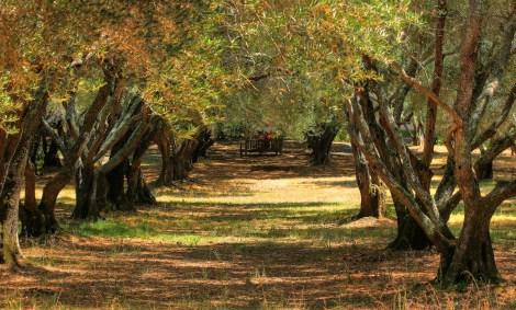 Olive grove in Filoli, Calif.