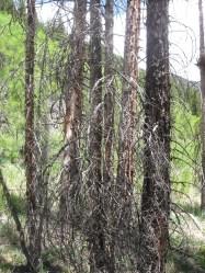 sad, dead trees