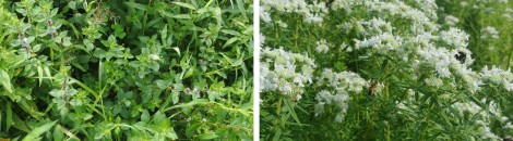 Wild field mint, left, and mountain mint.