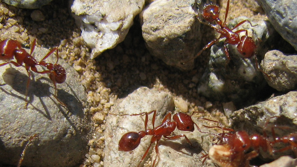 red havester ants