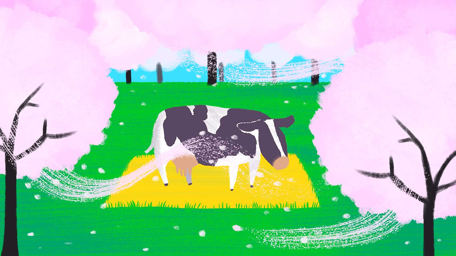 Almond orchard with lone cow