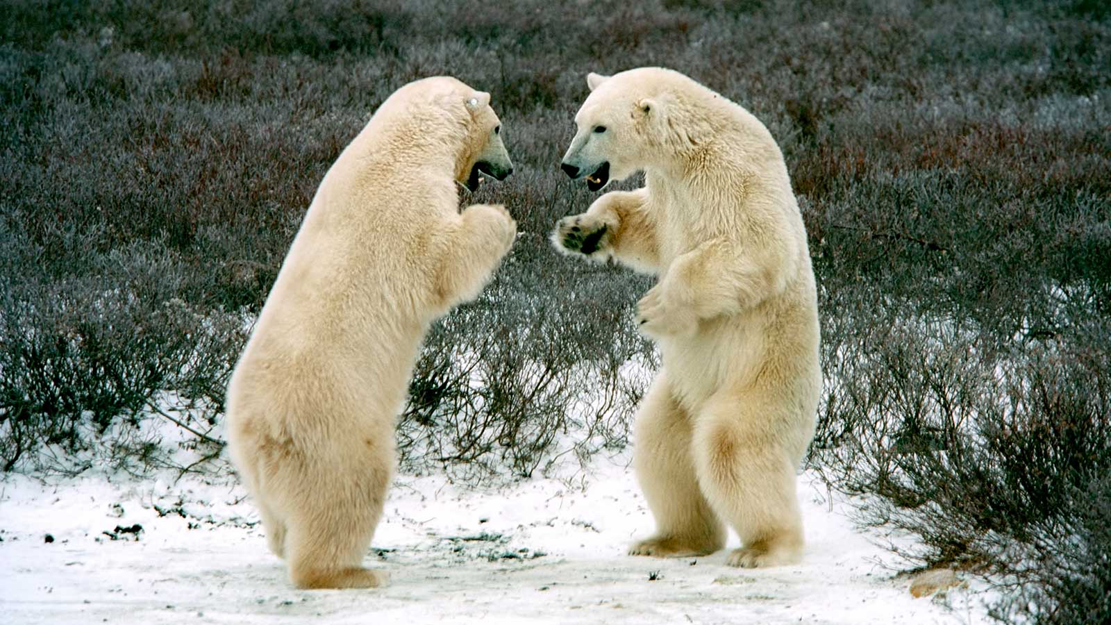 Boxing Polar Bears