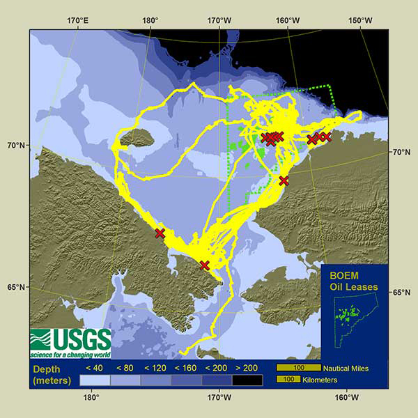 Yellow lines show the movement of radio-tracked walruses in 2013; the green highlighted section is where offshore drilling leases are available.