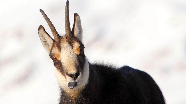 Alpine chamois mountain goat