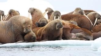 Adult Female Walruses on Ice Floe with Young, Eastern Chukchi Sea, AK, USA