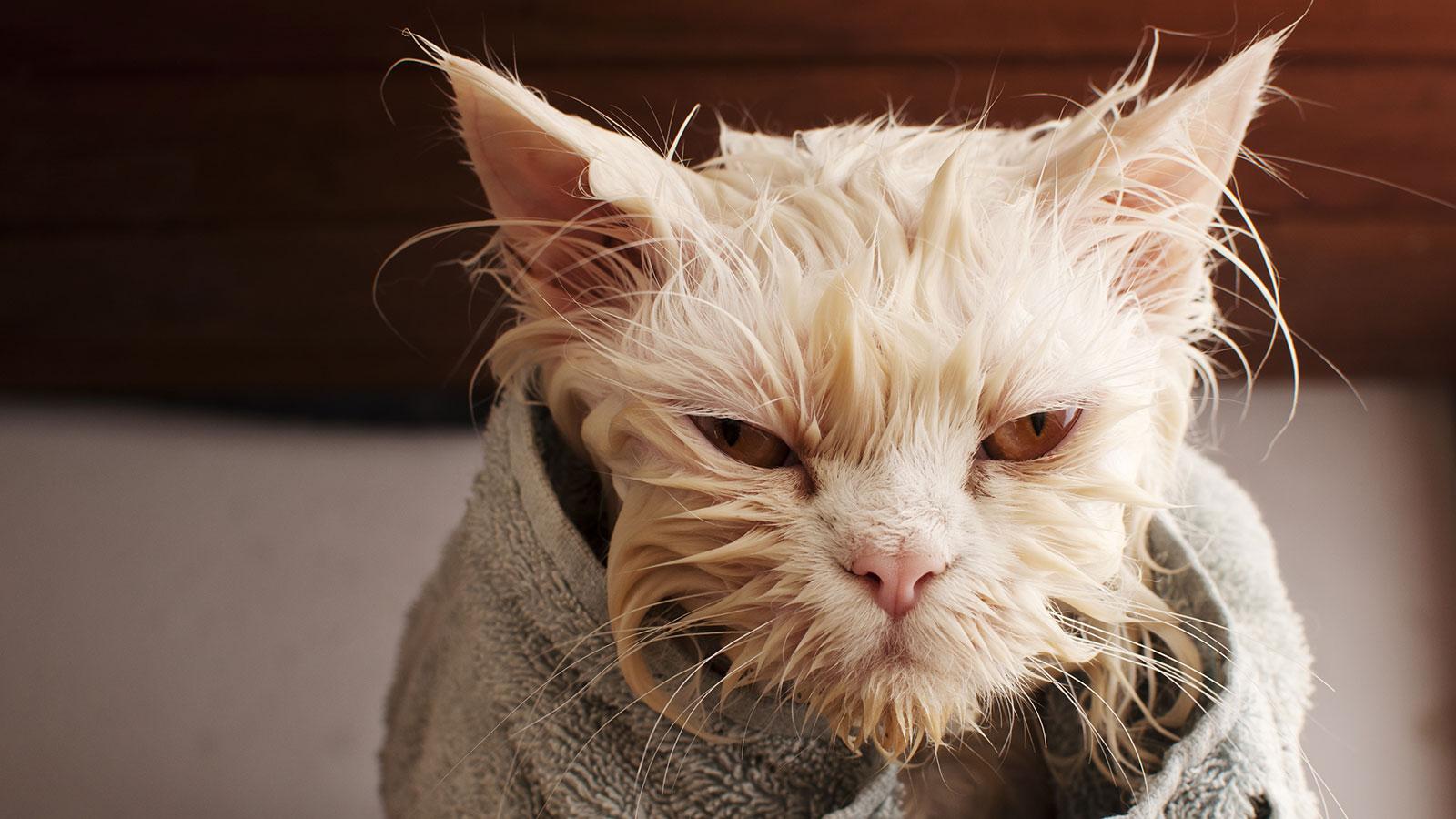 Wet cat after bath