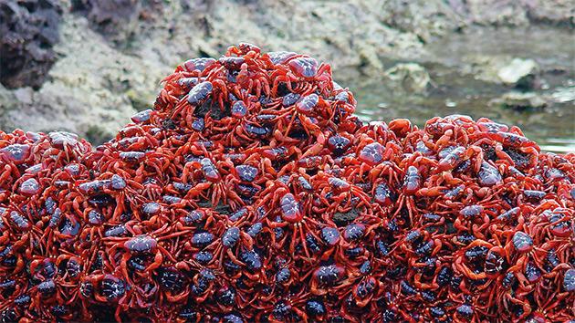 So. Many. Crabs.