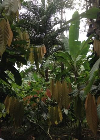 The banana fields of Talamanca