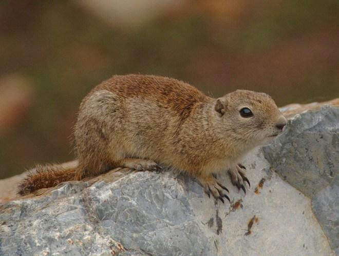2009-Beldings-Ground-Squirrel